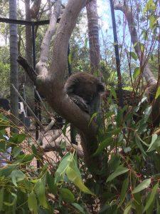 KOala Shoalhaven Zoo 1